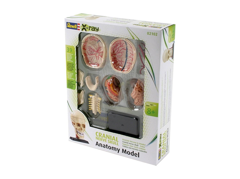 Hersenzenuw Schedel Anatomie model